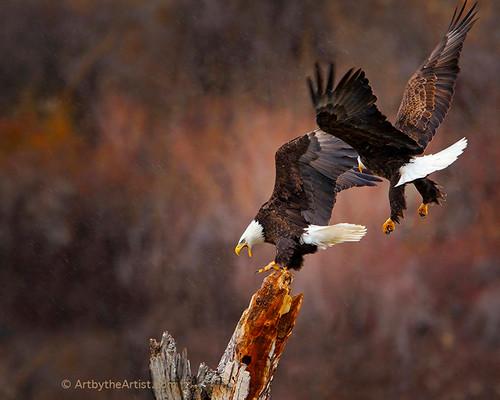 "Glen Hush ""Challenge at Inspiration Point"" Bald Eagles Fine Art Photo Signed"
