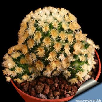 4oz  Mammillaria Carmenae