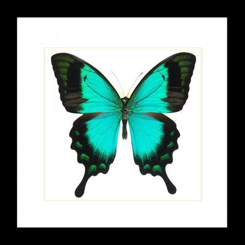 Butterfly in frame Papilio lorquinianus Bits & Bugs