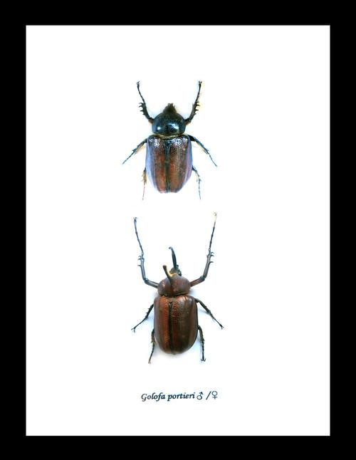 Golofa portieri Bits & Bugs