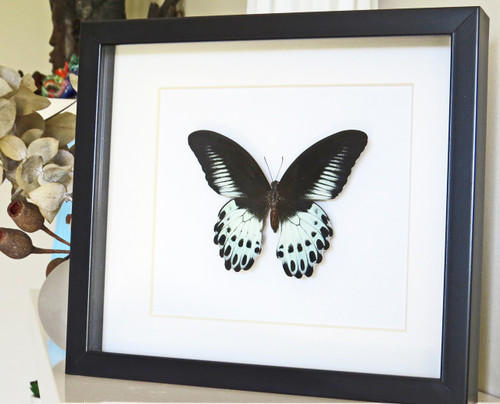 Papilio polymnestor  Bits & Bugs