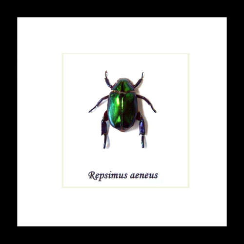 beetle Repsimus aeneus  bugs beetles framed insects  Bits & Bugs