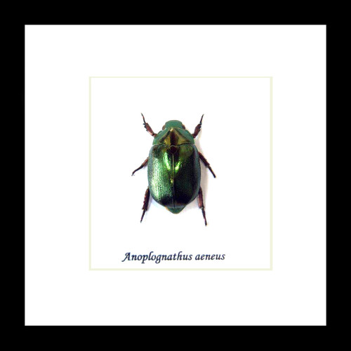 Xmas beetle Anoplognathus aeneus  bugs beetles framed insects  Bits & Bugs