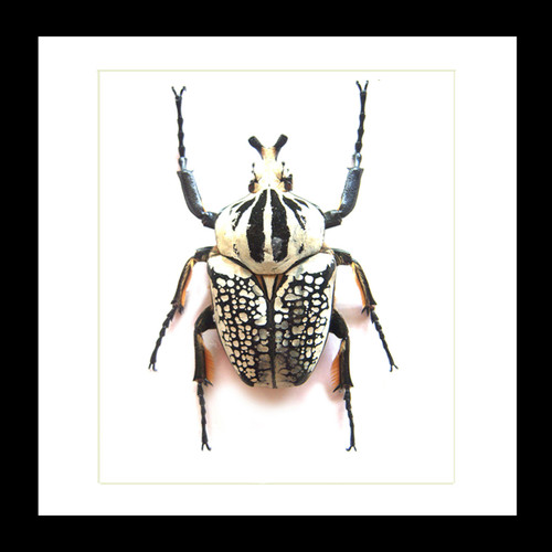 Goliath orientalis Insect bug bee butterfly dragonfly taxidermy entomology beetle moth