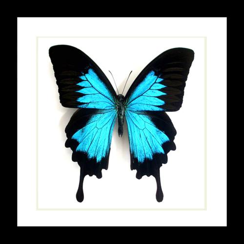 Papilio ulysses matt Bits&Bugs