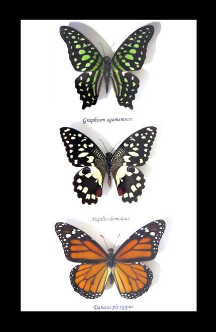 Australian butterflies framed Bits and Bugs