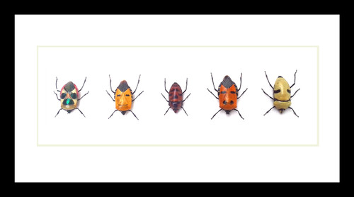 Man Faced Stink Bug Catacanthus species Bits & Bugs