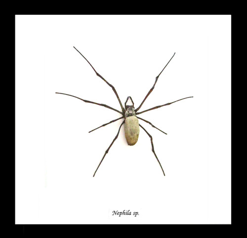 Nephlia  spider Colour B