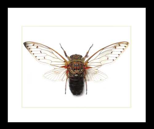 Cicada framed bug Bits and Bugs