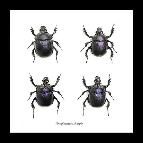 Scarab beetle Anoplotrupes sharpi Bits & Bugs