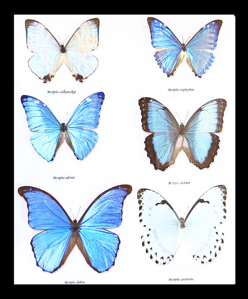 morpho butterflies for sale Australia Bits and Bugs