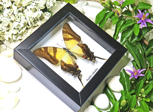 taxidermy butterfy insect gold coast australia