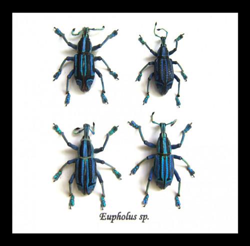 Taxidermy Beetle Eupholeus bennetti Bits & Bugs