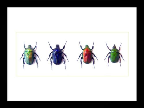 Flower beetles Bits & Bugs