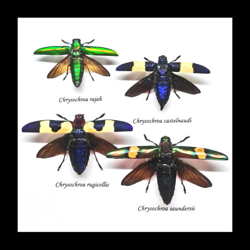Jewel beetles framed Bits & Bugs