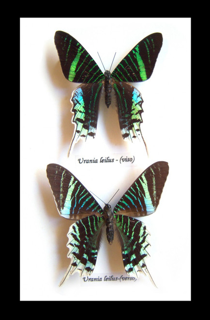 Framed butterflies moths for sale