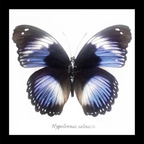 Framed butterfly Hypolimnas salamacis Bits&Bugs
