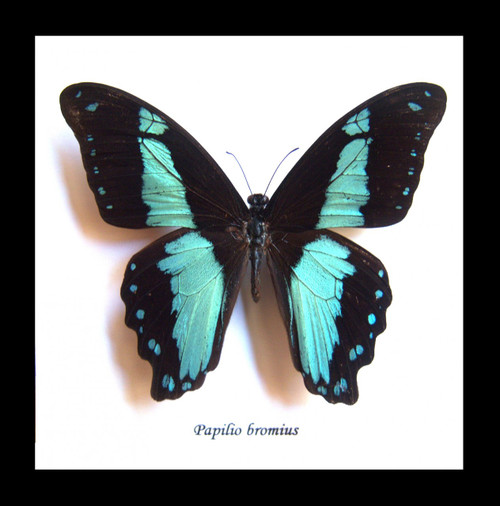 Real butterfly framed Papilio bromius Bits&Bugs