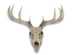 https://s3.amazonaws.com/zeckosimages/97422-weathered-glory-deer-skull-1I.jpg