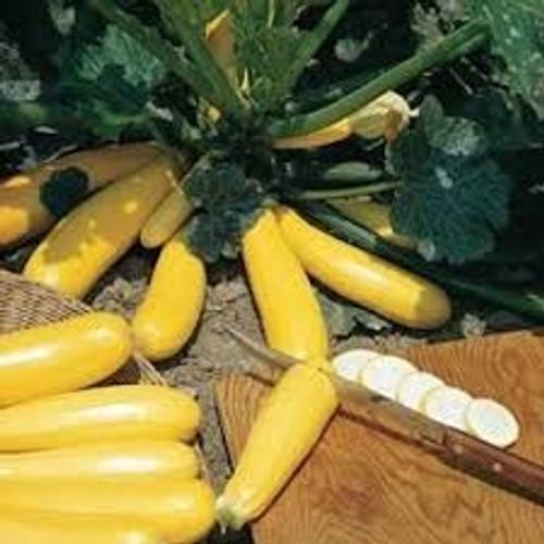 Burpee Golden Zucchini