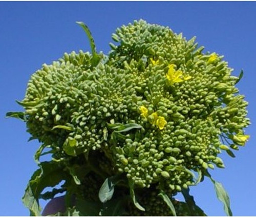 Broccoli RAAB (Spring Rapini)