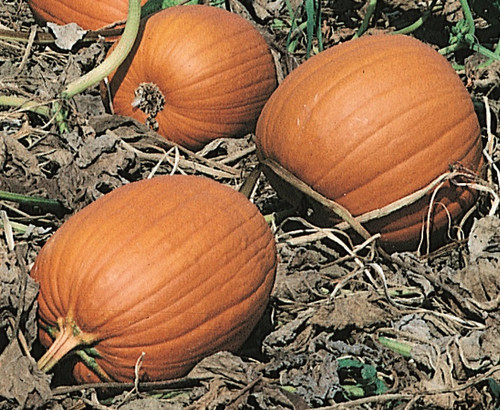Harvest Jack F1