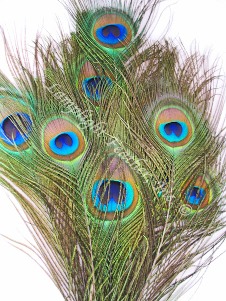 Peacock Feathers SHORT STALK 25
