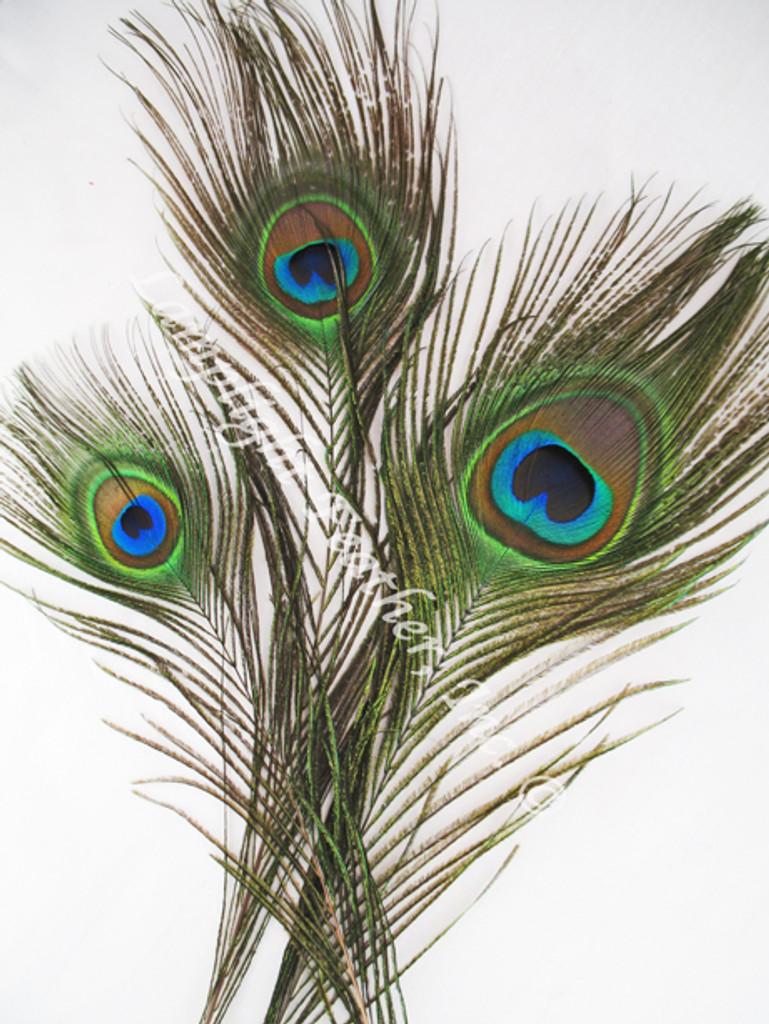 Peacock Feathers short three