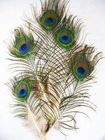 Peacock Feathers mini, per dozen