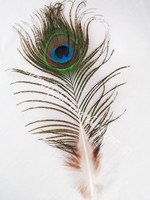 Peacock Feathers mini, small eye