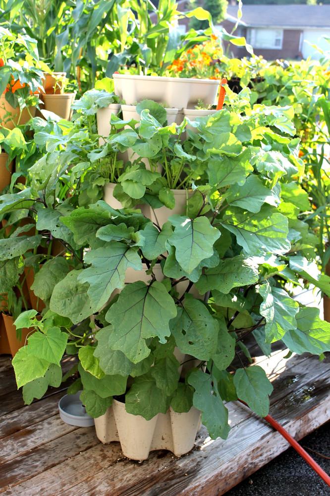 Eggplant growing in the GreenStalk