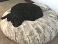 """Reagan's Dog Cowboy just can't keep his Eyes open because SILVER FOX is just so Dreamy.  The 60"""" cover fits a Costco Dog Bed."""