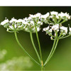 Aniseed Essential Oil 100% pure. 12ml