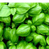 Basil Essential Oil 100% pure. 12ml