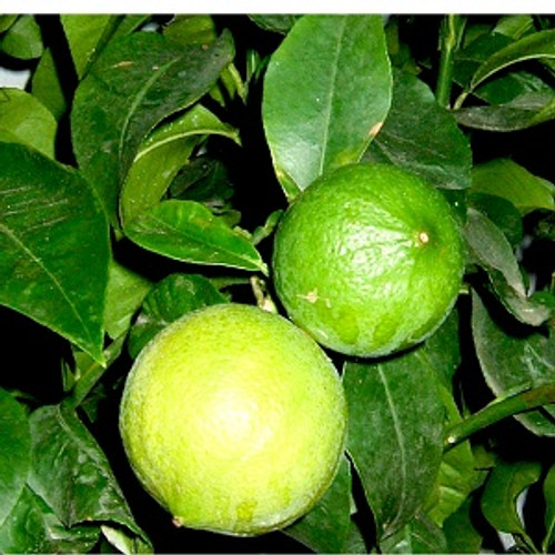Bergamot Essential Oil 100% pure. 12ml Physical uses:  good for skin conditions, such as eczema, psoriasis                       and ulcers. Mental/Emotional uses:  antidepressant, uplifting and calming.