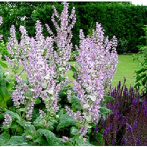 Clary Sage 100% pure. 12ml Fights Depression Reduces Convulsions Relieves Spasms Prevents Bacterial Infections Prevents Infections Stimulates Sexual Desires Prevents Hair Loss Skin Care Reduces Flatulence Regulates Menstruation Relieves Depression Lowers Blood Pressure Acts as a Nervine Lowers Inflammation Reduces Stomach Disorders Eliminates Bad Odor Promotes Digestion Boosts Uterus Health