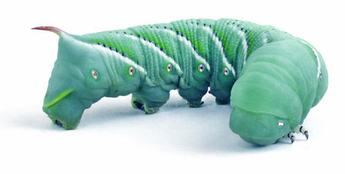 """Hornworms aka Goliath Worms- 1/2"""" to 3/4""""- 25/cup (FREE SHIPPING)"""