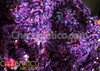 CHARISMATICO Asymmetrical hem, swishy sequined intense purple fringe Latin dance dress
