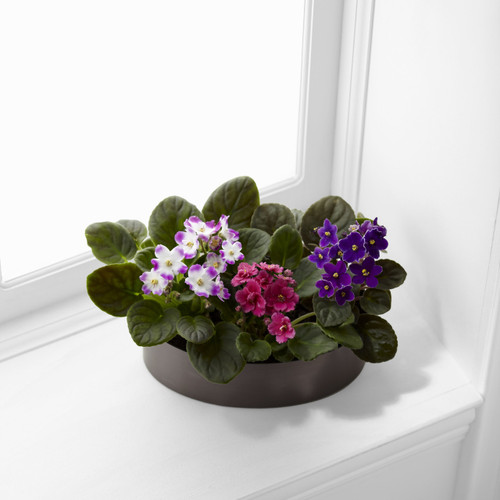 African Violets Simi Valley Florist