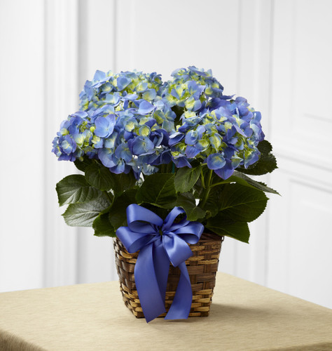 Blue Hydrangea Planter Flowers Simi Valley