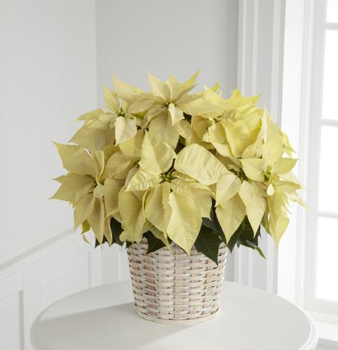 White Poinsettia Basket (Large) Simi Valley Florist