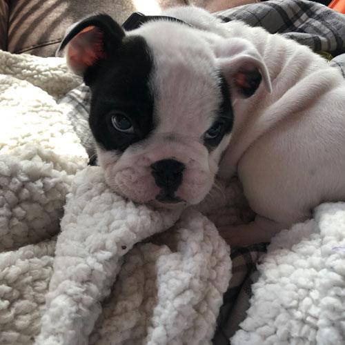 Conner - English Bulldog Puppy