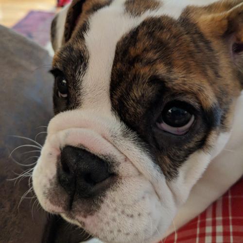 Holly - English Bulldog