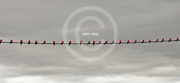 Color Shot - Birds on a Wire