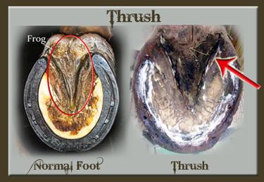 thrush-1.jpg