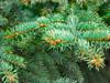 Balsam Absolute - Abies balsamea