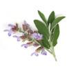 Clary Sage - Salvia sclarea