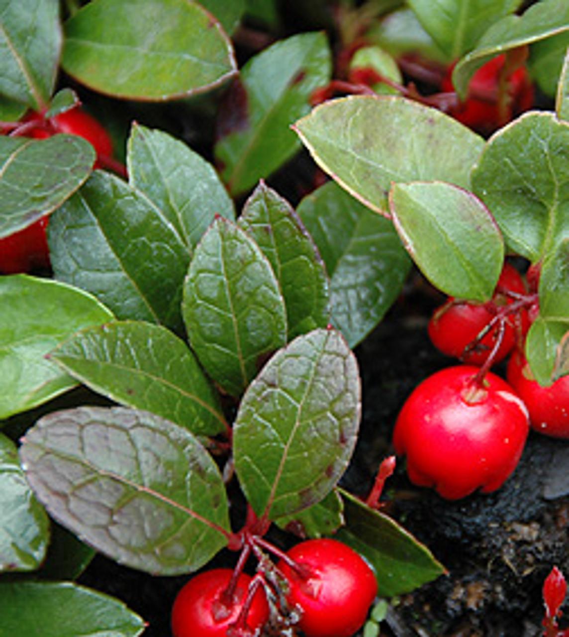 Wintergreen - Gaultheria procumbens