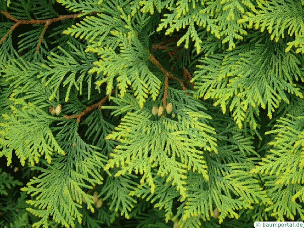 Atlas Cedarwood - Cedrus atlantica