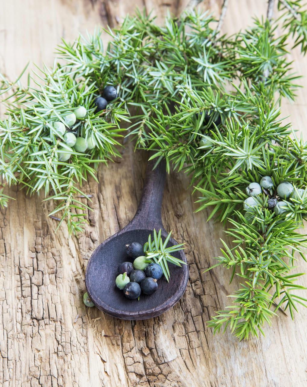 Juniper Berry - Juniperus communis